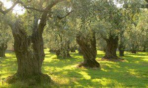 Ξεκινούν οι δολωματικοί ψεκασμοί για τον δάκο…σύντομα
