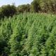 """Εντοπίστηκε """"δάσος"""" από χασισόδεντρα έως 2,5 μέτρα στη Γορτυνία!"""