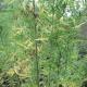 Δύο φυτείες στην Τριφυλία με 1.543 χασισόδεντρα έως 4 μέτρα!