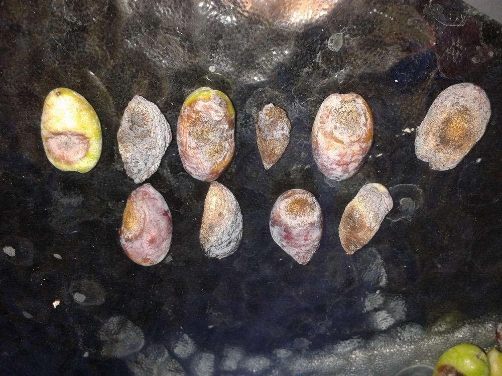 ΔΑΟΚ: Προσοχή στο γλοιοσπόριο
