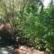 Χασισοφυτεία-μαμούθ στους Γαργαλιάνους: 1.142 χασισόδεντρα- πάνω από 3.000.000 ευρώ το όφελος-2 συλλήψεις