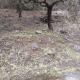 Τραγική η κατάσταση στις ελιές σε Κάμπο και Σταυροπήγιο από τη χαλαζόπτωση
