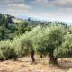 Περιφέρεια Πελοποννήσου: Ιδιαιτέρως σοβαρές οι ζημιές στις ελιές από την ανομβρία