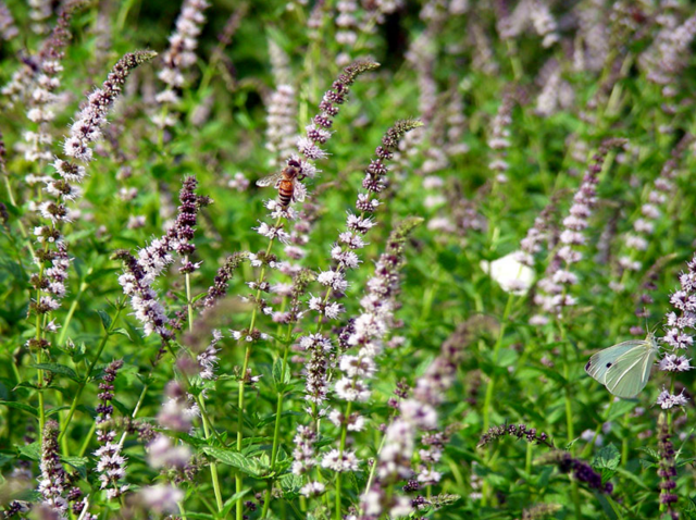 Μεγάλη επένδυση στην Αλαγονία με καλλιέργεια αρωματικών φυτών