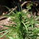 5 φυτά χασίς καλλιεργούσε στον κήπο του 46χρονος σε χωριό της Μεσσήνης