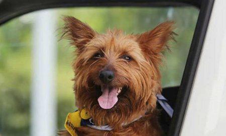 Ταξίδι με … ώτοστοπ για έναν σκύλο! Έκανε 1.500 χλμ