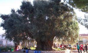Η αθάνατη Μάνα-ελιά, ένα αξιοθέατο που μετρά 1700 χρόνια