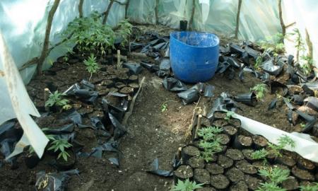 Χασισοφυτεία με 301 δενδρύλια σε αυτοσχέδιο θερμοκήπιο σε δασική περιοχή της Σπάρτης