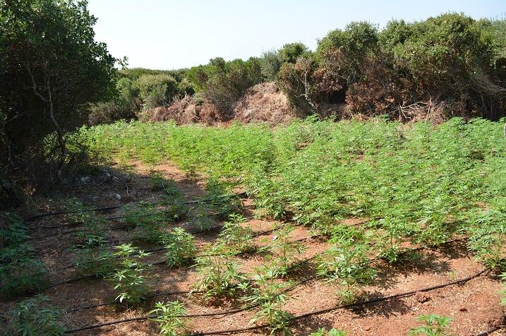Μεγάλη χασισοφυτεία με 2.071 δενδρύλλια σε περιοχή της Τριφυλίας