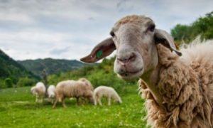 Στους λογαριασμούς των δικαιούχων οι ενισχύσεις για βιολογική κτηνοτροφία