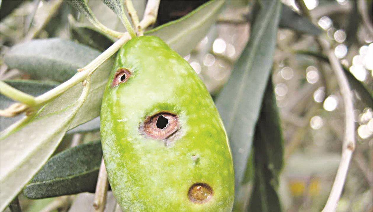 Kαταπολέμηση του δάκου: η αλόγιστη χρήση φυτοφαρμάκων υποβαθμίζει ποιοτικά το ελαιόλαδο