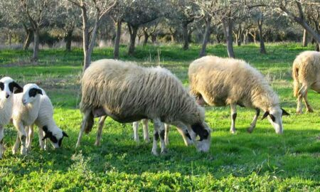 """Αλευράς: Δομικές αλλαγές κι όχι """"δωράκι"""" που εξήγγειλε ο κ. Τσίπρας στους κτηνοτρόφους"""