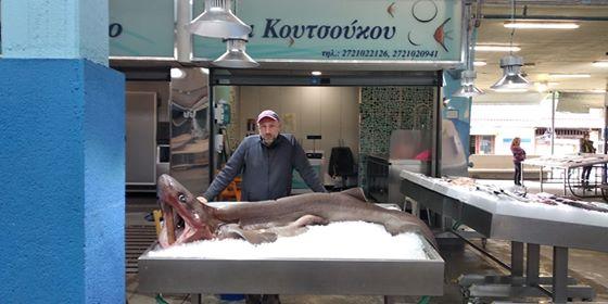 Ψάρεψαν γαλέο 2,5 μέτρων! Στην Κεντρική Αγορά Καλαμάτας το καρχαριοειδές!