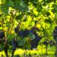 ΔΑΟΚ Μεσσηνίας: Νέες φυτεύσεις οινοποιήσιμων ποικιλιών αμπέλου για το έτος 2019