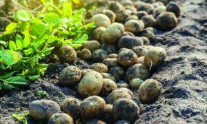 Γκούμας: Χάθηκαν 3.000 τόνοι πρώιμης πατάτας – Ζημιά 2 εκατ. ευρώ