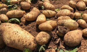 ΔΑΟΚ Μεσσηνίας: Τι συνιστά στους πατατοπαραγωγούς για τη συγκομιδή της πρώιμης πατάτας