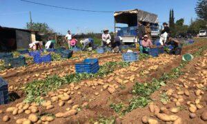 Ξεκίνησε η συγκομιδή της πρώιμης μεσσηνιακής πατάτας