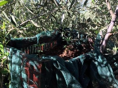 Συνελήφθη 55χρονος στην Καλαμάτα-Πάνω στις ελιές βρήκαν το χασίς οι αστυνομικοί!