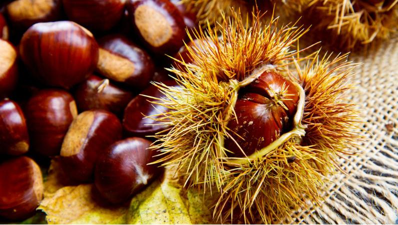 Βιολογική καταπολέμηση της σφήκας της καστανιάς-Τι να προσέξουν οι παραγωγοί