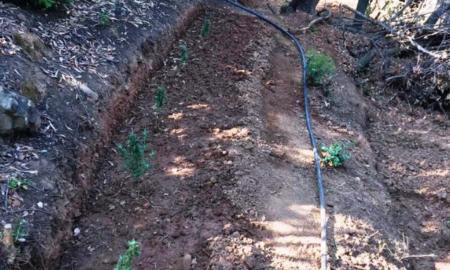 Xασισοφυτεία με 114 δεντρύλλια σε δασική περιοχή της Καλαμάτας-Συνελήφθη 55χρονος