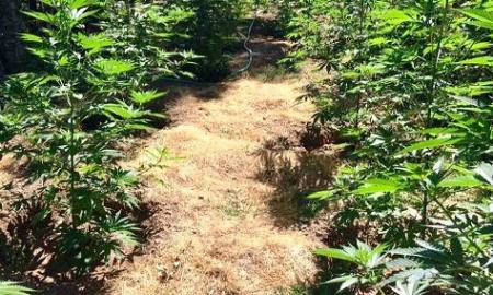 Xασισοφυτεία με 263 δενδρύλλια σε δασική περιοχή της Αβίας-Συνελήφθη 61χρονος