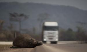 Αμαζόνιος: Η εκτροφή βοοειδών και η καλλιέργεια σόγιας συνέβαλαν στον πύρινο εφιάλτη