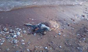 Νεκρή χελώνα καρέτα-καρέτα στην παραλία της Ανάληψης