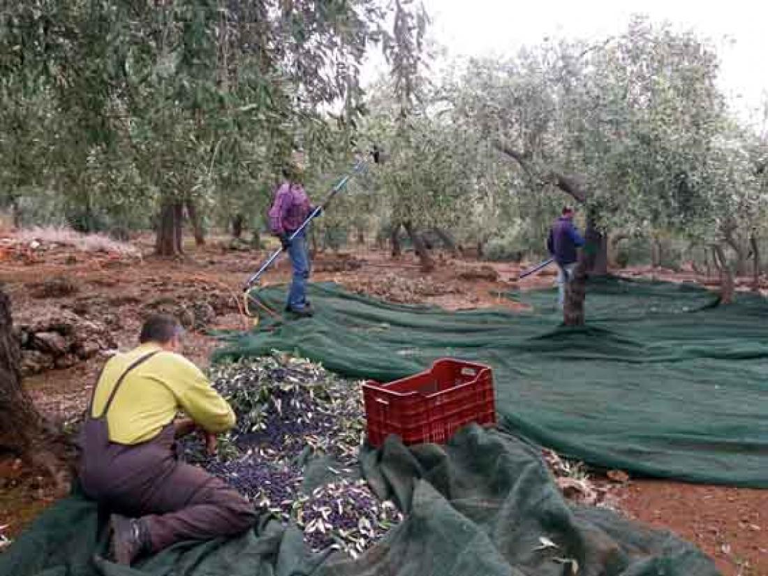 Αγρότες Μεσσηνίας: Απαράδεκτη η τιμή του ελαιόλαδου