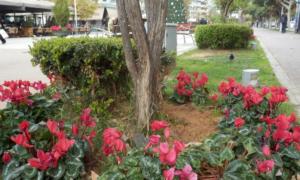 Κυκλάμινα και αλεξανδρινά στην Καλαμάτα εν όψει Χριστουγέννων