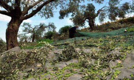 Κοντά στα 140 εκατομμύρια η ζημιά στην Κρήτη από το ελαιόλαδο